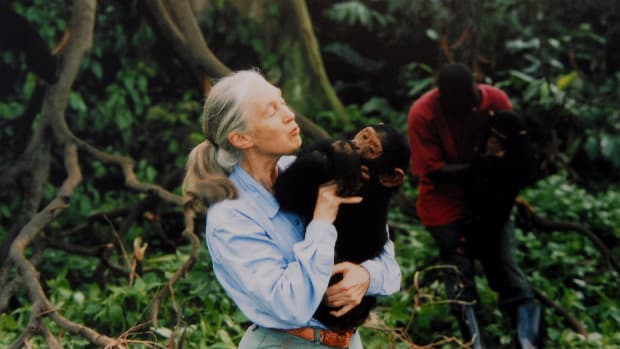 Jane Goodall with a chimpanzee in her arms, c. 1995
