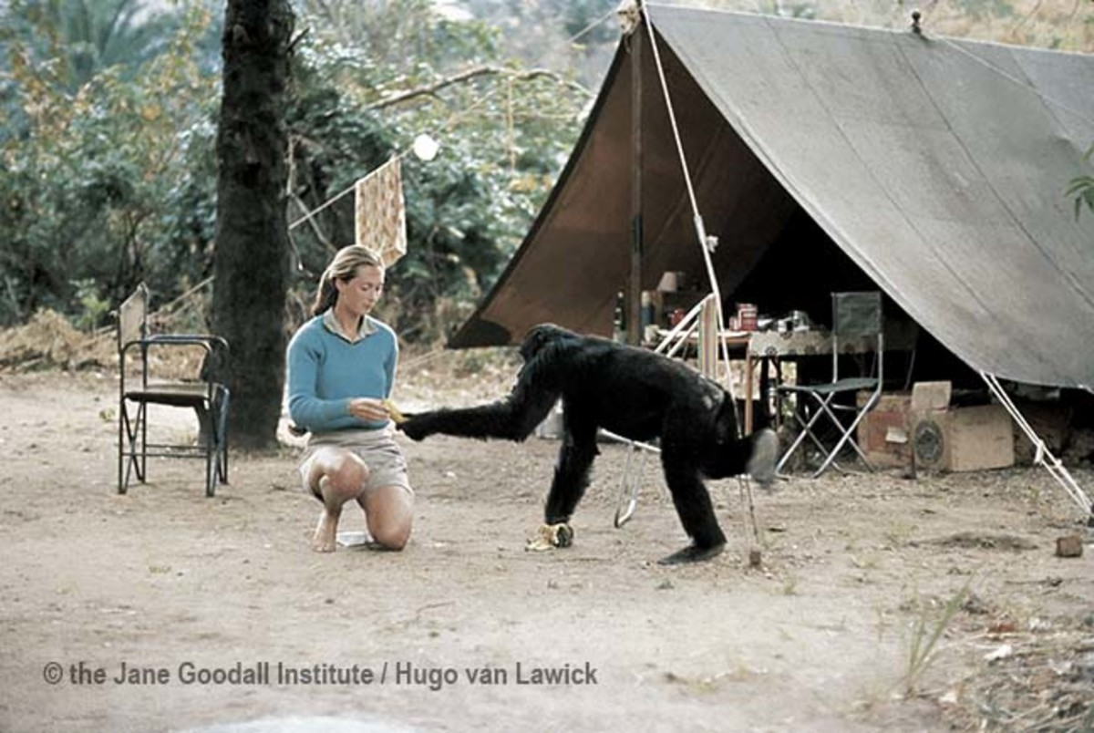 Jane Goodall Chimp Photo 1